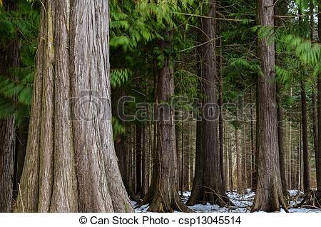 Stock Photography of Big thuja trees.
