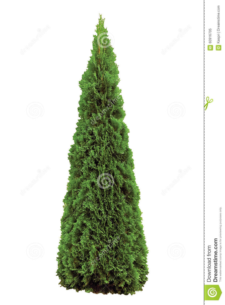 Thuja Occidentalis 'Smaragd', Green American Arborvitae Occidental.