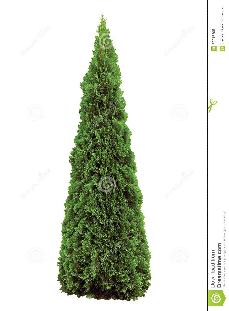 Thuja Occidentalis 'Smaragd', Green American Arborvitae Occidental.