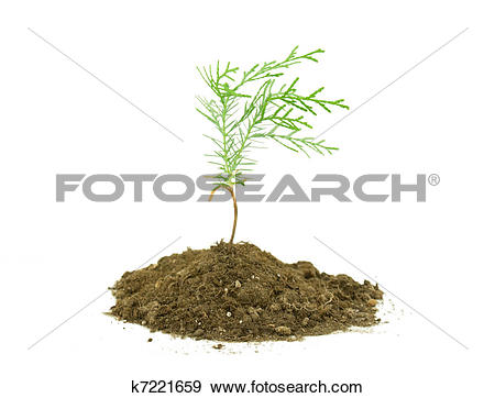 Stock Photograph of Thuja tree seedling isolated on white k7221659.