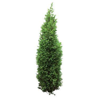 Arborvitae.