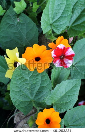 Thunbergia Stock Photos, Royalty.