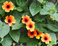 FLOWER THUNBERGIA ALATA Stock Photo.