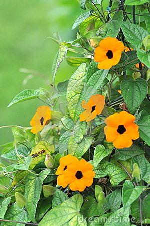 Thunbergia Alata, Common Name Black.
