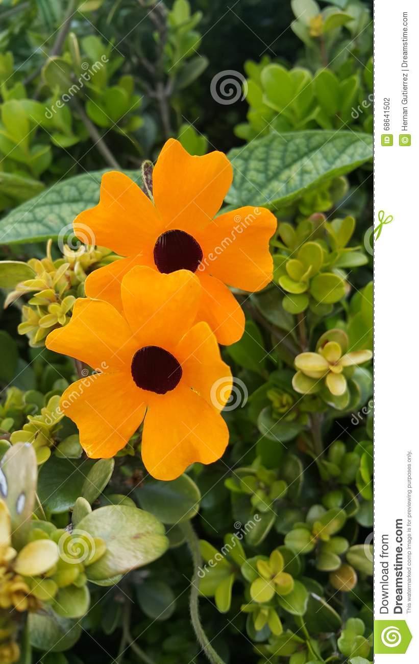 FLOWER THUNBERGIA ALATA Stock Photo.