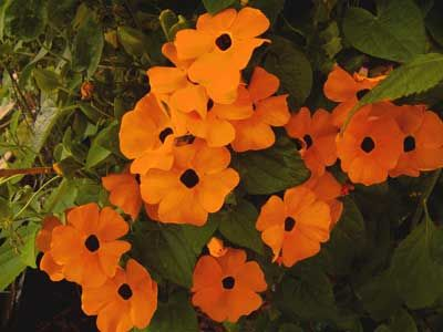 seeds of Thunbergia Alata African Sunset..
