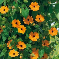 ✿ Spring wish list ✿ Thunbergia alata 'Arizona Glow'.