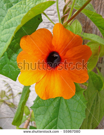 Thunbergia Alata Stock Images, Royalty.