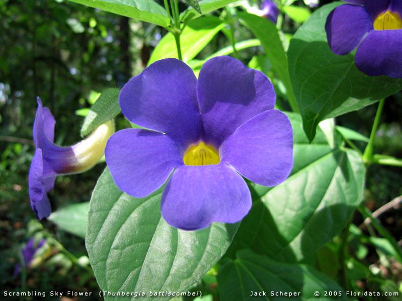 Thunbergia_battiscombei800b.jpg.