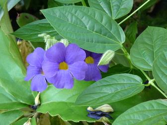 Thunbergia battiscombei.