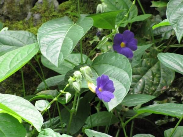 Thunbergia battiscombei (1).
