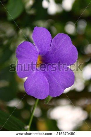 Thunbergia Grandiflora Stock Photos, Royalty.