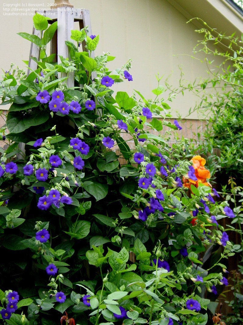 PlantFiles Pictures: Blue Boy, Blue Glory, Clock Vine (Thunbergia.