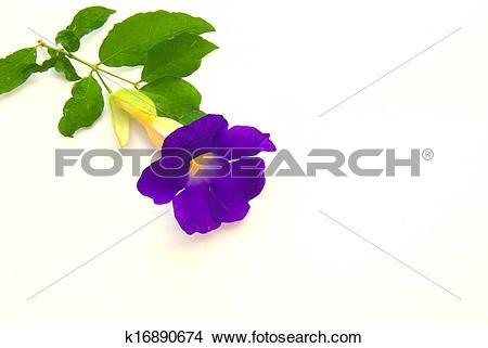 Stock Photo of Thunbergia affinis S. moore., Bush Clockvine.