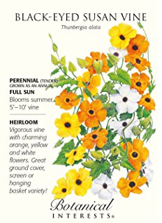 Amazon.com : Black Eyed Susan Vine 30 Seeds Thunbergia : Rudbeckia.