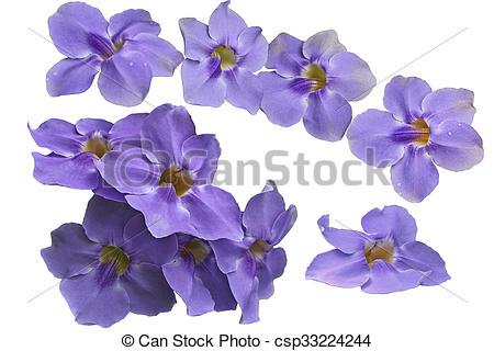 Stock Photo of Thunbergia, grandiflora, fleur.