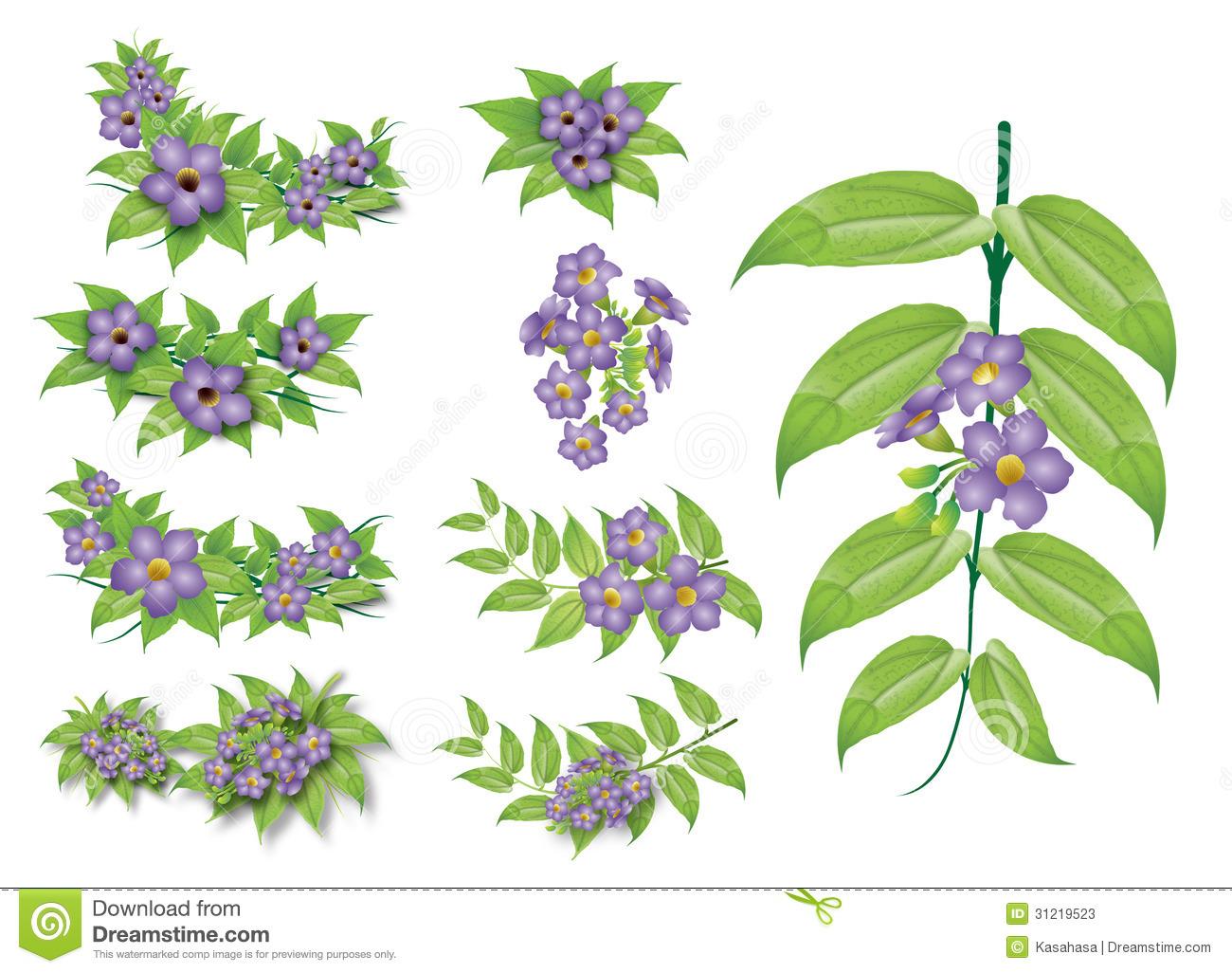 Bill (Thunbergia Laurifolia Linn.) Stock Photos.