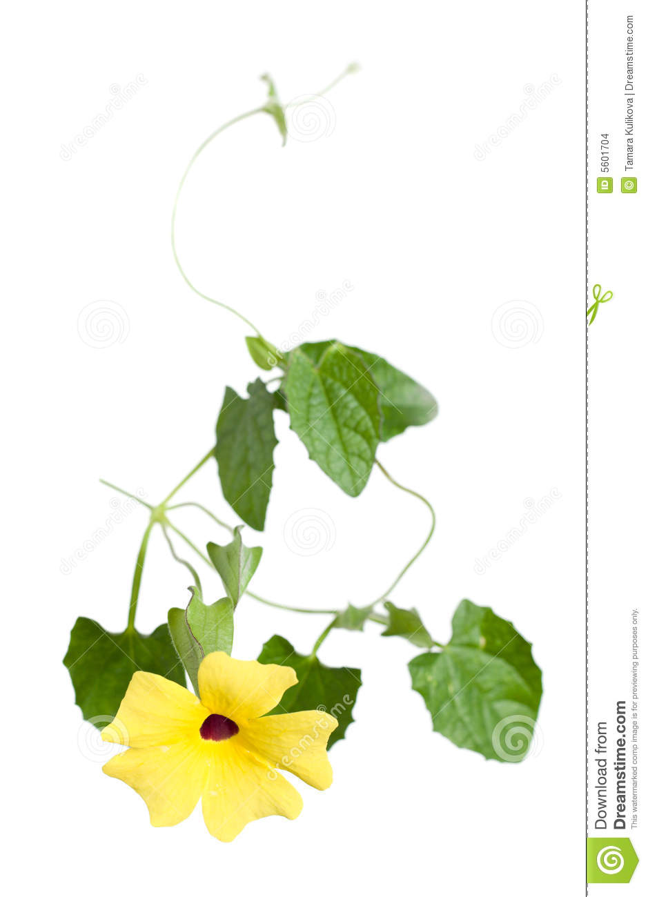 Thunbergia Stock Images.