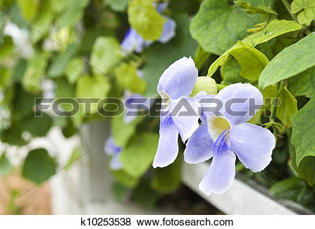 Pictures of Bengal clock vine or sky flower (Thunbergia.