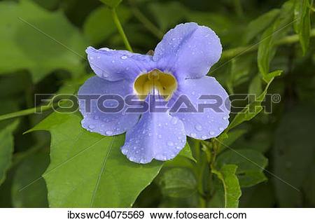 "Stock Photograph of ""Bengal Trumpet (Thunbergia grandiflora."