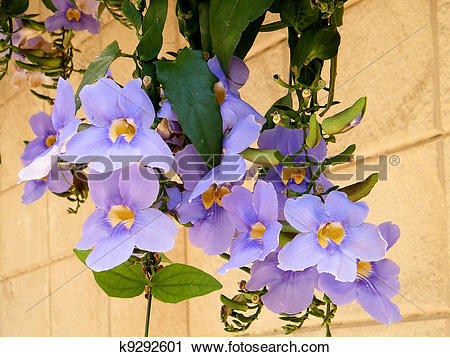 Stock Photography of Or Yehuda Thunbergia Grandiflora 2010.