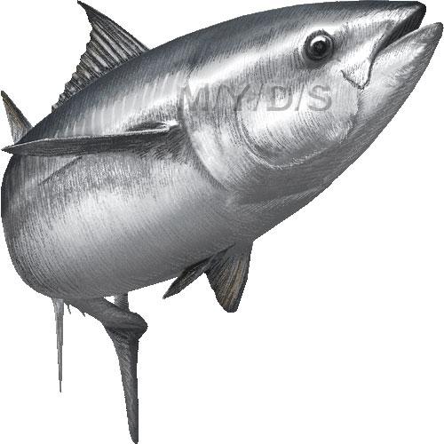 Pacific Bluefin Tuna clipart graphics (Free clip art.