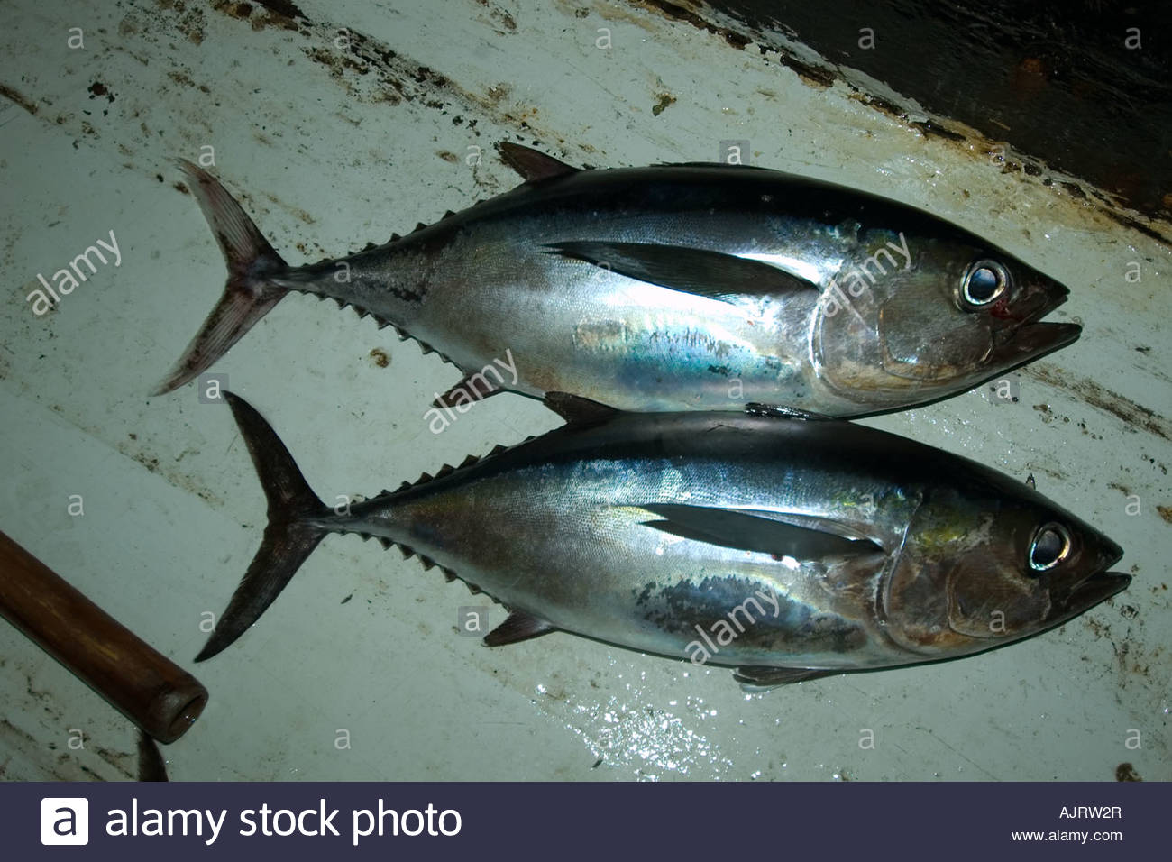 Bigeye Tuna Stock Photos & Bigeye Tuna Stock Images.