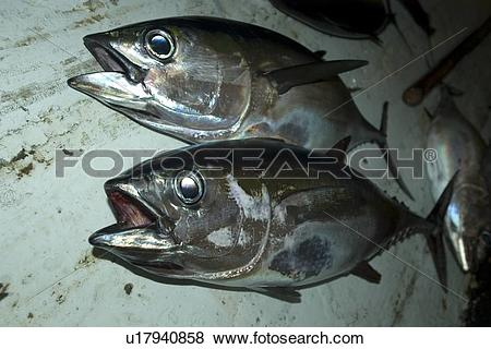 Pictures of Bigeye tuna, Thunnus obesus, commercial fisheries, St.