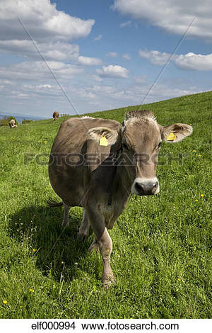 Stock Photo of Switzerland, Thurgau, Braunvieh on grazing land.