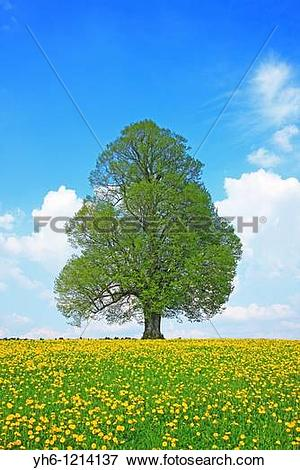 Picture of Single tree, Switzerland, Canton Thurgau yh6.
