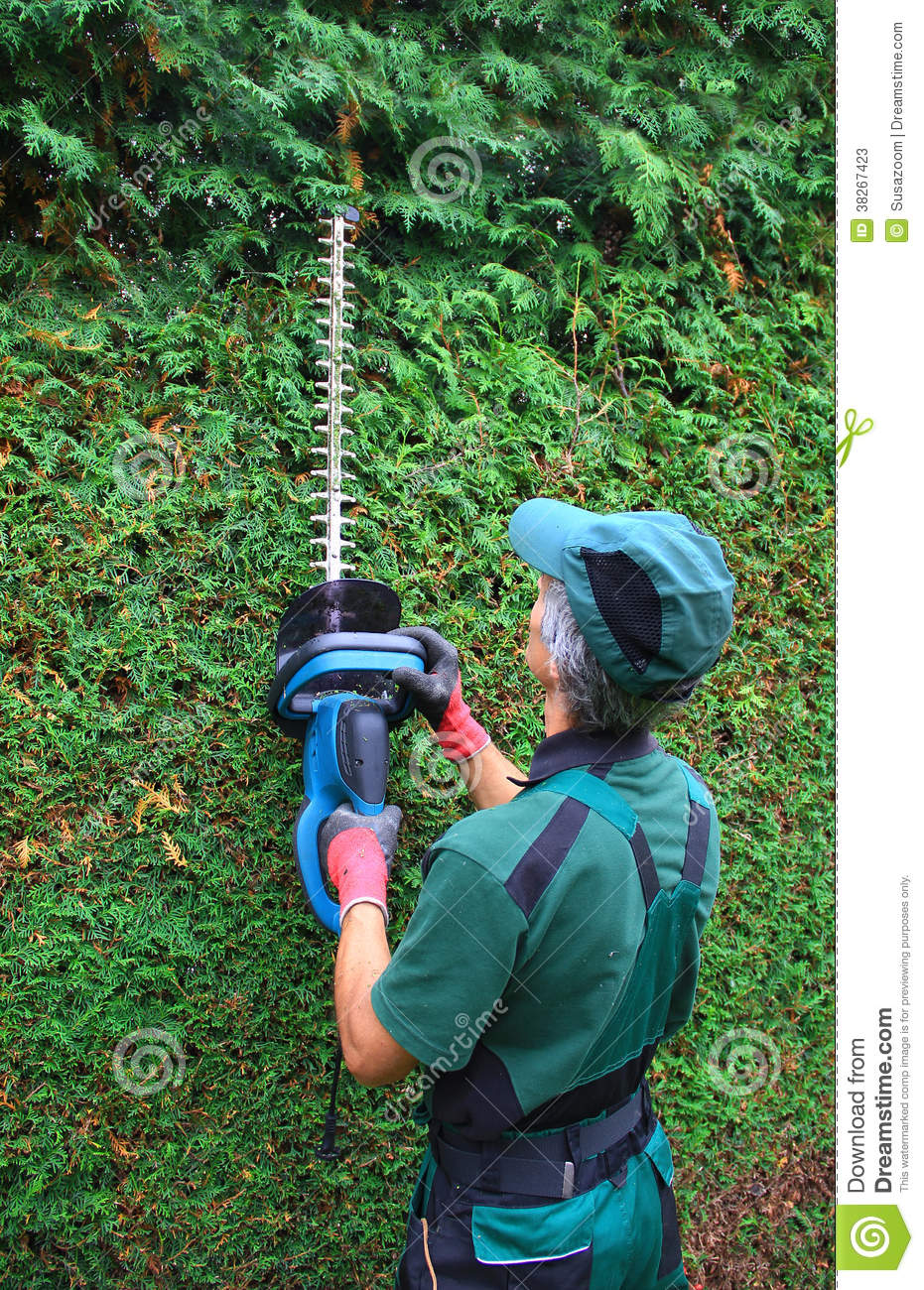 Gardener Cutting Thuja Hedge With Hedge Clippers Stock Photos.
