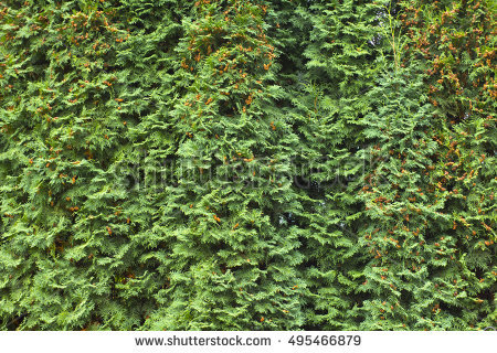 Thuja Stock Images, Royalty.