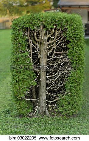 """Stock Image of """"Thujas or arborvitae (Thuja) trimmed rectangular."""