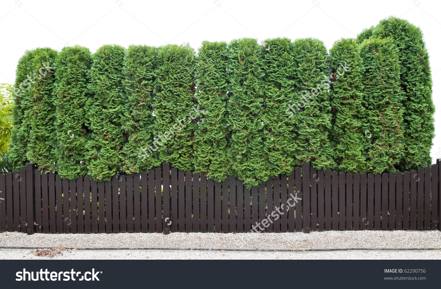 Fragment Rural Fence Hedge Evergreen Plants Stock Photo 62290756.