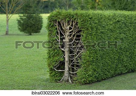 "Stock Images of ""Thujas or arborvitae (Thuja) trimmed rectangular."