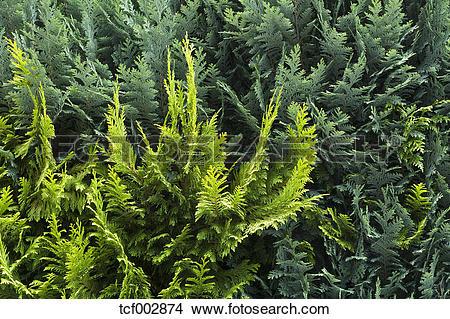 Stock Photo of Germany, Bavaria, View of Thuja hedge tcf002874.