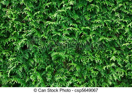Picture of Green Thuja Hedge Background Pattern Texture.