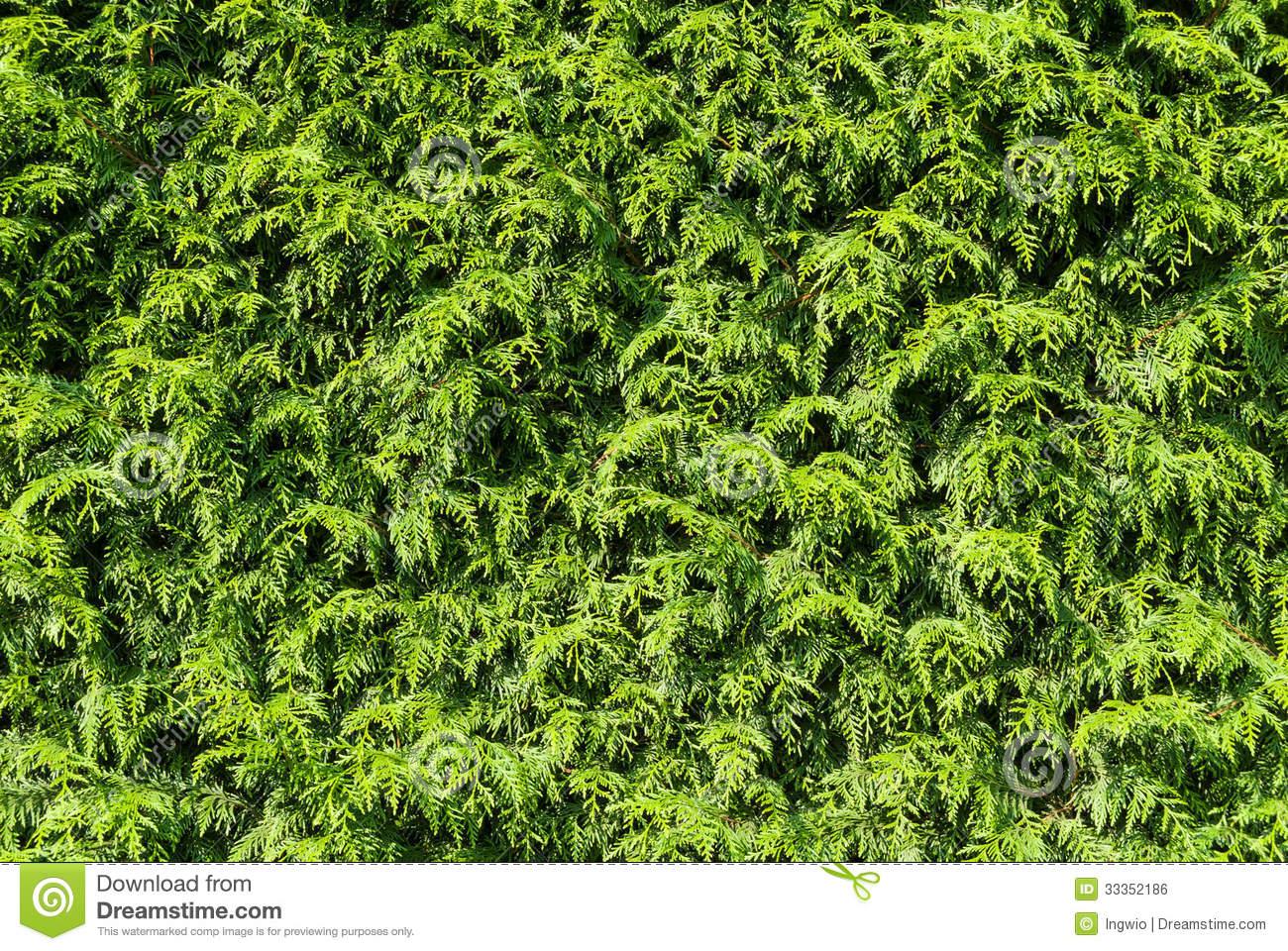 Thuja Hedge Royalty Free Stock Image.