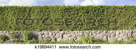 Stock Photography of Thuja green hedges panoramic image k19894411.