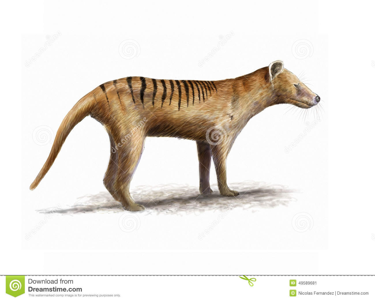 Tasmanian Tiger Stock Illustration.