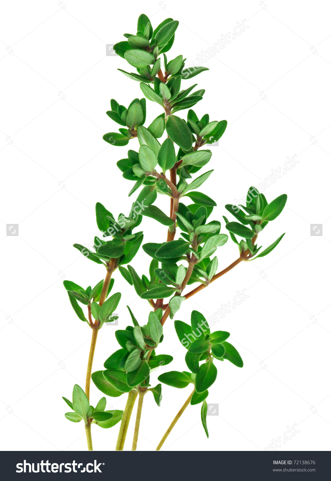 Thyme Clipart Clipground