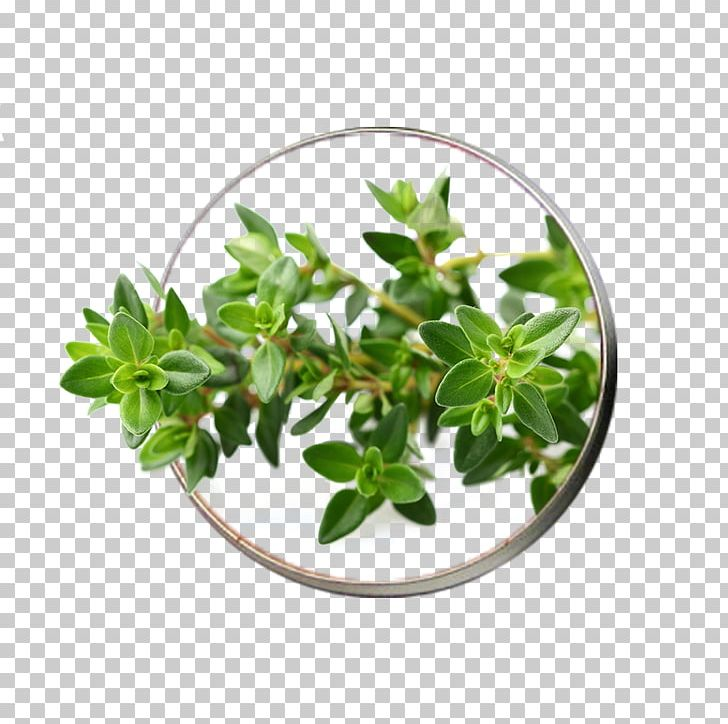 Garden Thyme Herb Seed Vegetable PNG, Clipart, Breckland.