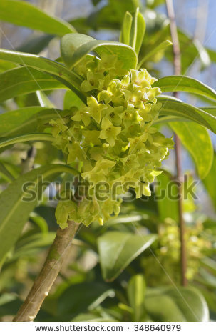 Thymelaeaceae Stock Photos, Royalty.