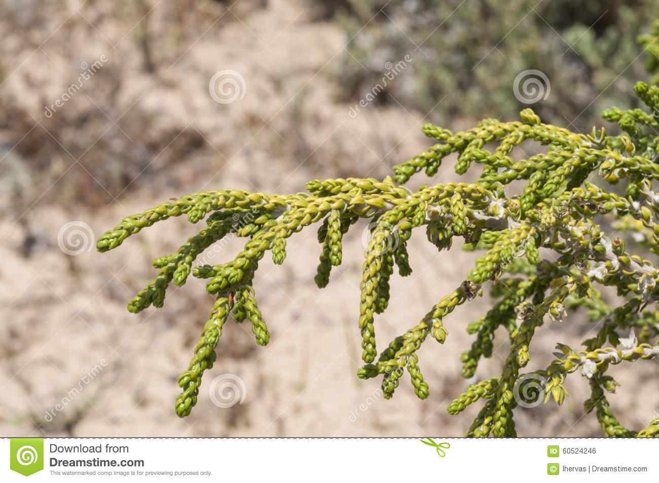Thymelaea Hirsuta Stock Photo.