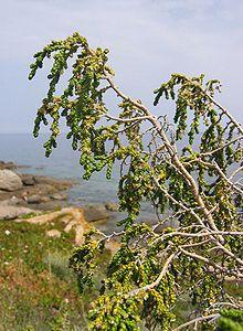 Thymelaea.