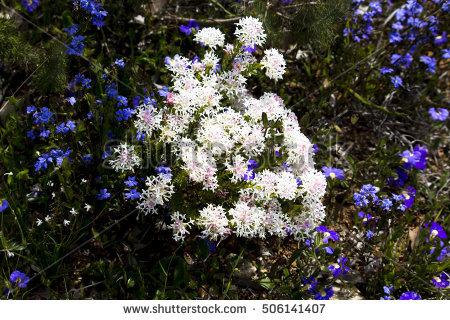 Thymelaeaceae Stock Photos, Royalty.