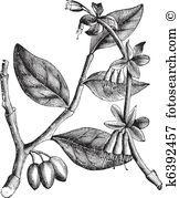 Thymelaeaceae Clip Art Illustrations. 7 thymelaeaceae clipart EPS.