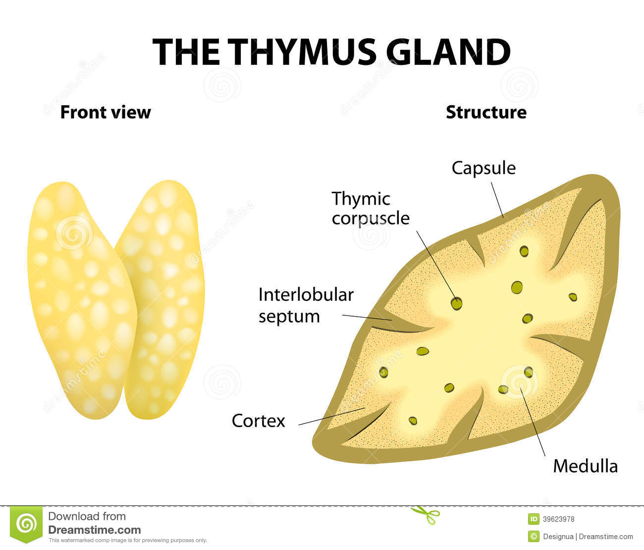 Thymus Stock Illustrations.