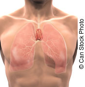 Thymus Stock Illustrations. 437 Thymus clip art images and royalty.