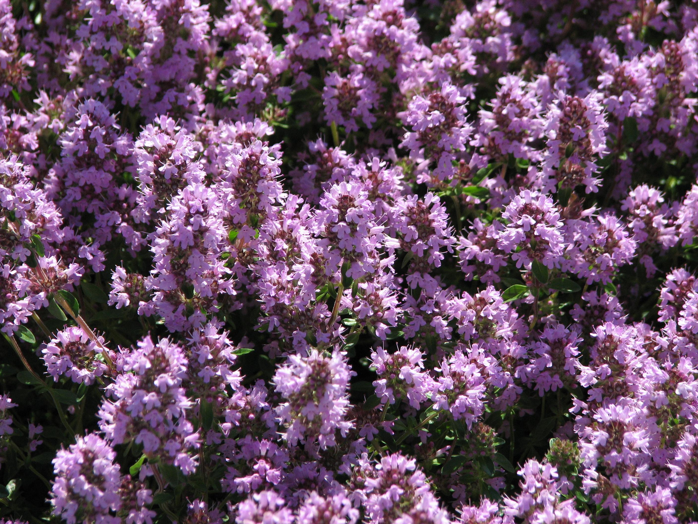 File:Thymus pulegioides flowering 01.JPG.
